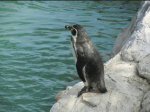 pinguim no zoológico de Santiago